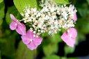 ヤマアジサイ 美しいピンク花アジサイ♪ 山アジサイあじさい 苗 ヤマアジサイ 【 ピンクヤマア...