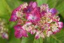 ピンクの覆輪がかわいい♪あじさい 苗 【 シエラ 】 2年生5号ポット苗 アジサイ 庭木 落葉樹 低木