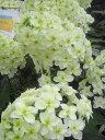 庭造りに欠かせないおすすめ夏の花♪あじさい 苗 カシワバアジサイ スノーフレーク ポット苗 ア...