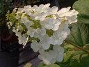 庭造りに欠かせないおすすめ夏の花♪あじさい 苗 一重カシワバアジサイ スノークイーン ポット...