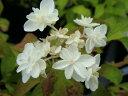 ヤマアジサイ ふくふくした 山アジサイ丸っこい弁の八重花♪ 山アジサイあじさい 苗 ヤマアジサ...