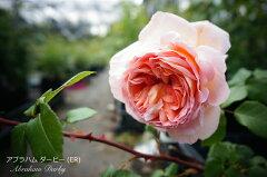 アブラハムダービー イングリッシュローズ 初心者に超おすすめ 耐病性がありよく茂ります。 大...