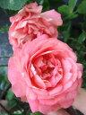 【バラ苗】 アクロポリスロマンティカ ブーケのように咲きます。 大苗 四季咲き 複色 バラ 苗 ...