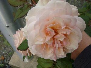 【バラ苗】 アシュロップシャイアラド (ER) イングリッシュローズ 四季咲き性は強いです。 大苗...