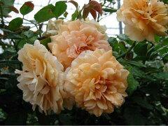 【バラ苗】 バフビューティー オールドローズ 香りが人気のオールドローズ 長尺 四季咲き オレ...