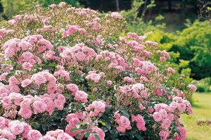 【バラ苗】 ロイヤルボニカ 修景バラ うどんこ病に強い強健なバラです。 大苗 四季咲き ピンク ...