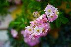 【バラ苗】 バレリーナ 大苗つるバラ 修景バラ 四季咲き ピンク バラ 苗 つるばら np