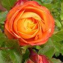 【バラ苗】 ベビーロマンティカ 大苗 木立バラ 【京成バラ】 四季咲き オレンジ色 バラ 苗 薔薇 【予約販売・2017年12月中旬から翌年1月中旬頃に順次発送予定】