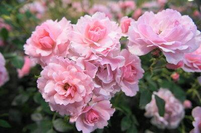 【バラ苗】 ボニカ'82 耐寒性が抜群に優れております。 大苗 四季咲き ピンク 強健 バラ 苗 薔...