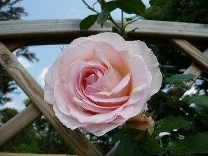 【バラ苗】 ブランピエールドゥロンサール 白のロンサール 大苗 白色 バラ 苗 薔薇【バラ苗】 ...