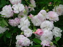 花つきが良く繰り返し咲きます。【バラ苗】ブランシュカスケード(del)【国産苗】大苗 6号ポット...