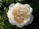 【バラ苗】 チャイコフスキー オールドローズに似た雰囲気。 大苗 四季咲き 黄色 バラ 苗 薔薇...