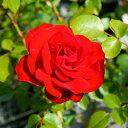 【バラ苗】 ダブリンベイ 大苗 つるバラ 赤色 四季咲き 黄色 強健 バラ 苗 薔薇 np 【予約販売】【2018年12〜翌1月以降お届け予定】