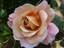 【バラ苗】 ディスタント・ドラムス 淡いベージュのクラシカルな花 大苗 四季咲き オレンジ色 ...