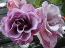 【バラ苗】 ディオレサンス デルバール (Del) ブランドの偉大なる香り 大苗 四季咲き 紫色 強香...