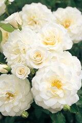 【バラ苗】 ファビュラス! 耐寒性・耐暑性に優れ、生育旺盛。 大苗 四季咲き 白色 強健 バラ ...