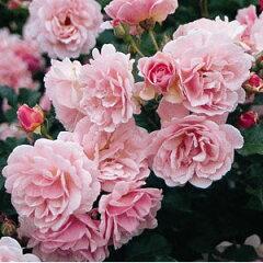 【バラ苗】 フェリシア オールドローズ 強健ですがトゲが少ない♪ 大苗 四季咲き ピンク 強香 ...