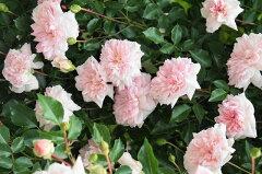 【バラ苗】 フランソワジュランヴィル オールドローズ とても丈夫な強健種 大苗 ピンク 強香 強...