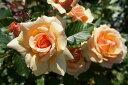 【バラ苗】 フレグラントアプリコット 香りが楽しみ 大苗 四季咲き アンズ色 強香 バラ 苗 薔薇...