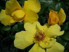 強健な黄色の四季咲き【バラ苗】ゴールデンシャワーズ(CL)【国産苗】 1年生新苗