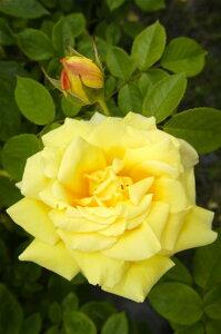 【バラ苗】 ゴールデンシャワーズ 大苗 つるバラ トゲが少ない 耐陰性 四季咲き 黄色 バラ …