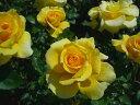 【バラ苗】 つるゴールドバニー 大苗 つるバラ トゲが少ない 超多花性 黄色 強健 バラ 苗 np 【予約販売】【2018年12〜翌1月以降お届け予定】