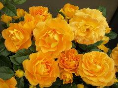 【バラ苗】 ゴルデルゼ 花壇の前方やボーダーにおすすめ。 大苗 四季咲き オレンジ色 バラ 苗 ...