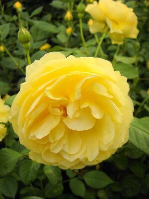 【バラ苗】 グラハムトーマス (ER) イングリッシュローズ 頼もしい芳香。 大苗 四季咲き 黄色 ...