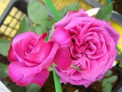 【バラ苗】 ハイディクルムローズ ダマッセナ系の強香。 大苗 四季咲き ピンク 強香 バラ 苗 薔...