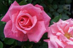 【バラ苗】 芳純 香りのベスト品種です。 大苗 四季咲き ピンク 強香 バラ 苗 薔薇【バラ苗】 ...
