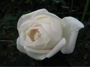 【バラ苗】 つるホワイトクリスマス 人気の白のツルバラ 大苗 白色 強香 バラ 苗 つるバラ ツル...