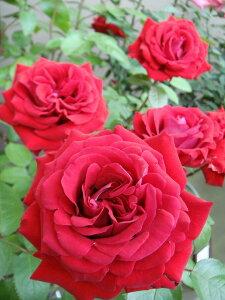 【バラ苗】 イングリッドバーグマン 耐寒性、耐病性があります。 新苗 四季咲き 赤色 強健 バラ...