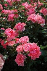 【バラ苗】 ジャルダン・トゥ・フランス 非常に多花性。 大苗 四季咲き ピンク バラ 苗 薔薇【...