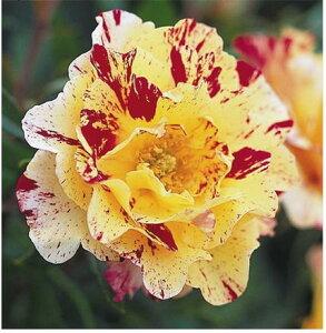 【バラ苗】 カミーユピサロ デルバール (Del) 赤と黄色の絞り咲き。 大苗 四季咲き 複色 バラ ...