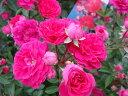 【バラ苗】 キングローズ 枝一面に咲き誇ります 大苗 ピンク バラ 苗 つるバラ ツルバラ つるば...