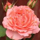 【バラ苗】 コラーユジュレ (大輪SCL) (河本バラ園) 大苗 6号ポット 四季咲き ピンク バラ 苗 薔薇 【予約販売・2017年12月中旬から翌年1月中旬頃に順次発送予定】