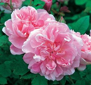 【バラ苗】 コテージローズ (ER) イングリッシュローズ 大変素敵な良い香り。 大苗 四季咲き ピ...