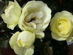 【バラ苗】 クリーミーエデン クリーミーなグリーンの花色 大苗 四季咲き 黄色 バラ 苗 薔薇【...