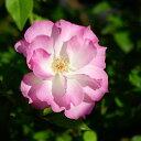 【バラ苗】 マチルダ 大苗 木立バラ 四季咲き ピンク 薔薇 バラ苗木