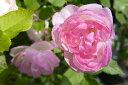 【バラ苗】 マダムピエールオジェ オールドローズ 淡い桃色の中輪カップ咲き 大苗 白色 バラ 苗...