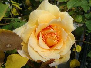 【バラ苗】 マダムシャルルソバージュ 大苗 木立バラ 四季咲き 耐寒性強 トゲが少ない オレン…