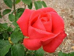 【バラ苗】 つるマリアカラス 耐寒性、耐暑性、耐病性に優れた丈夫な品種。 大苗 赤色 バラ 苗 ...