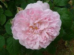 【バラ苗】 マサコ (ER) イングリッシュローズ エグランティーヌ 四季咲き性は強いです。 大苗 ...