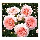 【バラ苗】 メルヘン ツァウバー 大苗 【京成バラ】 木立バラ 四季咲き
