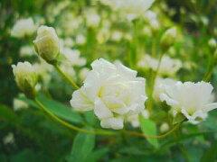 トゲのない常緑バラバラ 苗 白 モッコウバラ (八重) (old) 白色 強健 バラ苗
