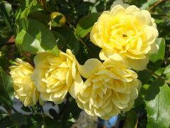トゲのない常緑バラバラ 苗 黄 モッコウバラ (old) 黄色 バラ苗