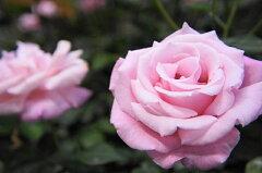 バラ苗 木立バラ HT 桃香 モモカ 株に近づくとすばらしい香り。 大苗 四季咲き ピンク 強香 強...
