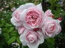 バラ苗 ナエマ デルバール (Del) ナエマの香りは様々な香りに例えられます。 大苗 四季咲き ピ...