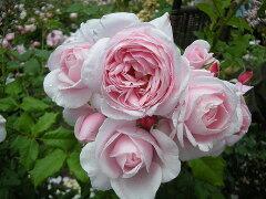 【バラ苗】 ナエマ デルバール ナエマの香りは様々な香りに例えられます。 新苗 四季咲き ピン...