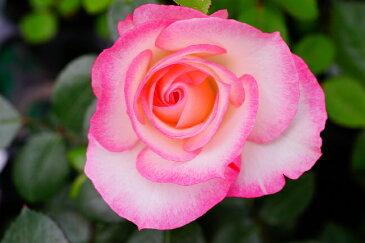 【バラ苗】 ニコル 大苗 木立バラ 四季咲き 複色 バラ 苗 薔薇 np